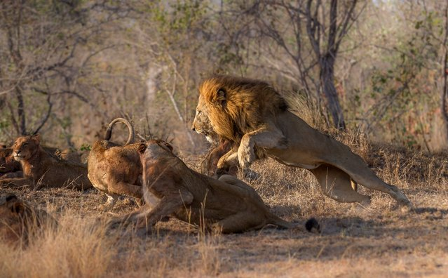 The same male lion in the previous photo now tries to disrupt and steel the carcass that the pride was feeding on. A few of the younger individuals and lionesses fought back, enticing a rage fueled-reaction from the male. The scene calmed down after this, as the male had proved his strength and the pride then settled a distance off. (Photo by Chris Renshaw)
