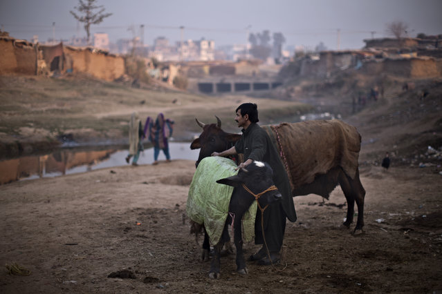 Afghan refugee Mohammed Khan, covers his cows with sheets to protect them from the cold in a poor neighborhood on the outskirts of Islamabad, Pakistan, Sunday, December 28, 2014. (Photo by Muhammed Muheisen/AP Photo)