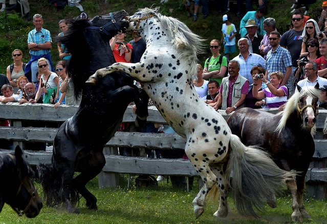 Stallions fight for their position in the herd in Rauris in the Austrian province of Salzburg, on June 22, 2013. To avoid such fights and injuries on the alp, the horses fight for their leadership of the herd in a paddock. After the fight the stallions stay the whole summer at an alp in the Rauris Valley. (Photo by Kerstin Joensson/Associated Press)