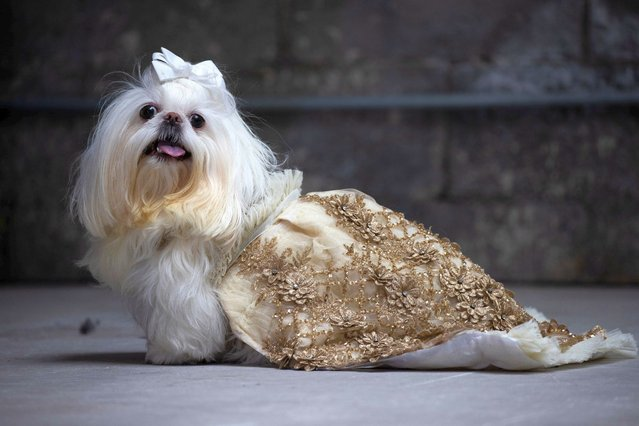 A dog name Perla poses during Anthony Rubio's Women's Wear Canine Couture show during New York Fashion Week at Ideal Glass Studios on February 12, 2021 in New York City. (Photo by Adam Gray/Action Press/South West News Service)