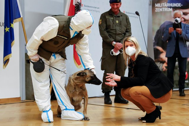 Austrian Defence Minister Klaudia Tanner pets Fantasy, a sniffer dog trained to detect the coronavirus disease (COVID-19), during a news conference in Vienna, Austria on December 14, 2020. (Photo by Leonhard Foeger/Reuters)