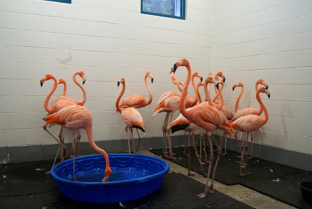Flamingos are sheltered as a part of Storm Florence preparations at Riverbanks Zoo and Garden in South Carolina, U.S., September 13, 2018 in this image obtained from social media September 13, 2018. (Photo by Riverbanks Zoo and Garden via Reuters)