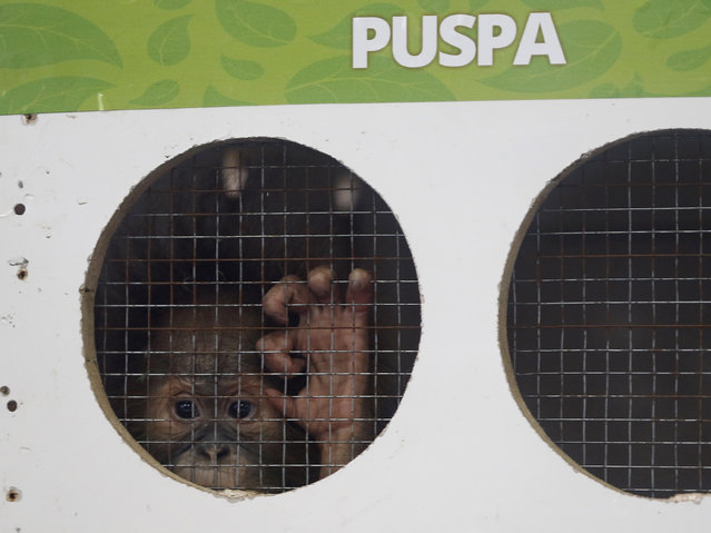 One-year-old orangutan named Puspa looks behind a cage in Jakarta, Indonesia, February 9, 2016. Seven orangutans, including Puspa, will be transported to Sumatra and Kalimantan island today, local media reported on Tuesday. (Photo by Reuters/Beawiharta)
