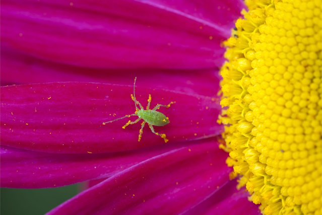 Vibrant colours in Tom Gardner's picture of an aphid. (Photo by Scottish Seabird Centre)