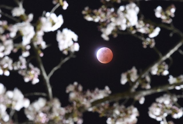 A total lunar eclipse is seen between cherry blossoms in Shiraishi, Miyagi prefecture, in this photo taken by April 4, 2015. (Photo by Reuters/Kyodo News)
