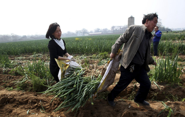 In this photo taken Thursday April 9, 2015, a man and woman hauls away green onions from a 60-hectare land rented by a farming company in Xingyang city in central China's Henan province. (Photo by Chinatopix Via AP Photo)