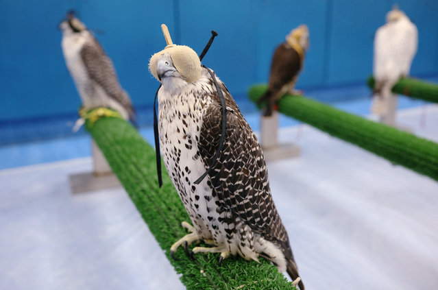 Falcons wait to receive medical attention at the Abu Dhabi Falcon Hospital in Abu Dhabi, United Arab Emirates April 28, 2019. (Photo by Christopher Pike/Reuters)