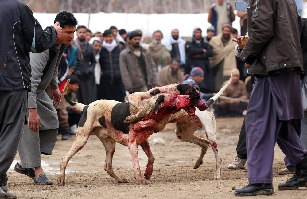 Kabul Dog Fights