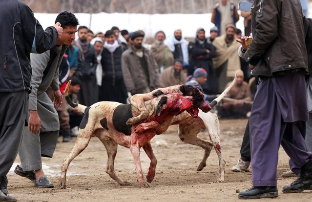 Afghan dogs fight during the weekly dog fight in Kabul, Afghanistan, 17 February 2017. Under the Taliban dog fighting was forbidden, but since their fall it has become a major source of entertainment for hundreds of Afghans, where bets can amount to thousands of dollars and the dogs, which must be over one year old, are well-cared for by their owners and fed milk, butter and meat. (Photo by Hedayatullah Amid/EPA)