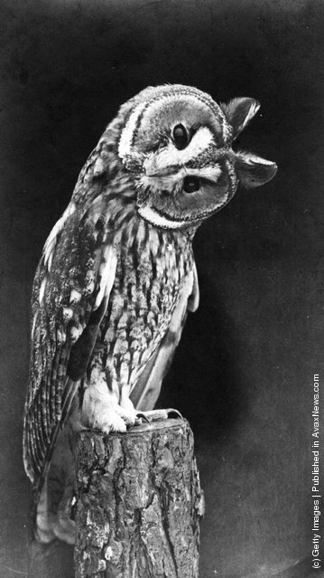 1969: An owl perched on a tree stump