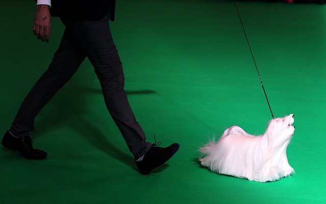 A man shows his terrier during the annual Crufts Dog Show at the NEC Arena in Birmingham, Britain, 09 March 2017. The world's largest dog show will be held from 9 to 12 March with 22,000 dogs competing for the world class title of Crufts Best In Show. (Photo by Nigel Roddis/EPA)
