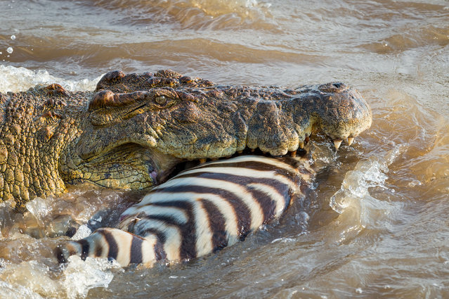 This is the incredible moment an army of crocodiles proved that rivers are no place for a zebra crossing. Ingo Gerlach captured the remarkable shots as the giant crocs tucked into their prey in Kenya's Mara River. The German wildlife photographer had to wait for almost two hours as the zebras roamed free in the savannah. But his patience paid off as he was left with a collection of stunning snaps as the crocodiles devoured the helpless striped mammals. (Photo by Ingo Gerlach/Fortitude Press)