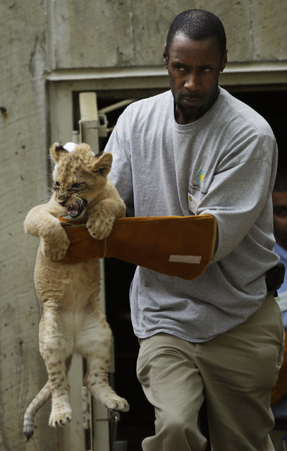 Smithsonian National Zoo animal keeper J.T. Taylor carries out a female lion cub for its swim test in the zoo habiat moat, in Washington May 6, 2014. Four, unnamed ten-week old lion cubs were tested today for their ability to swim and remove themselves from their zoo habitat moat. (Photo by Gary Cameron/Reuters)