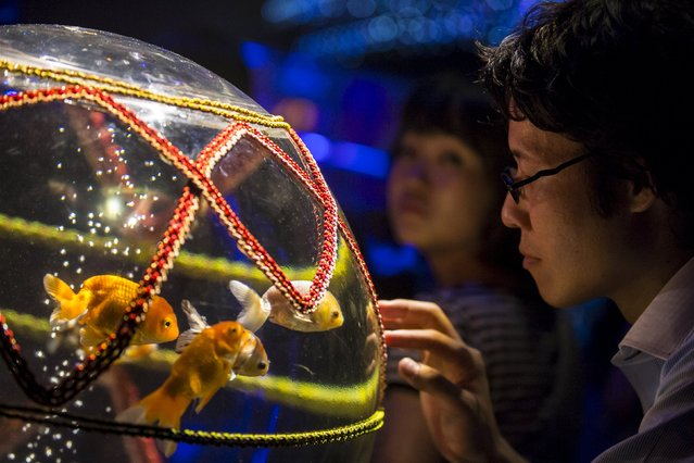 A man looks at goldfish in a tank at the Art Aquarium exhibition in Tokyo July 27, 2015. (Photo by Thomas Peter/Reuters)