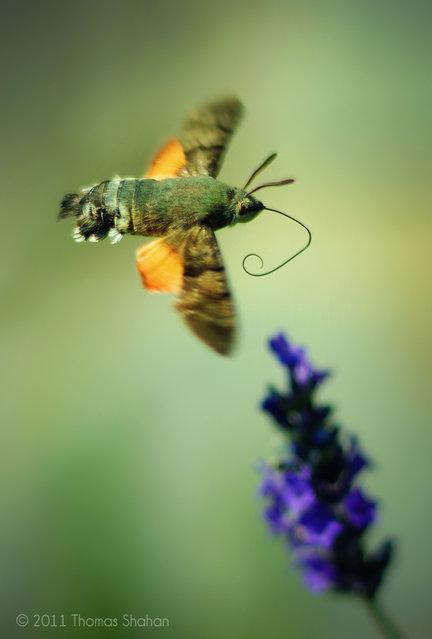 Hummingbird Hawk Moth – Macroglossum stellatarum – Arezzo, Italy