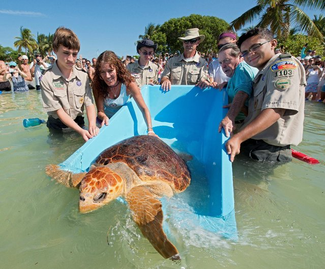 """""""Bubbles"""", a subadult loggerhead sea turtle, is released with the help of Boy Scouts and staff members from the Florida Keys-based Turtle Hospital in Marathon, Florida, June 11, 2016. (Photo by Andy Newman/Reuters/Florida Keys News Bureau)"""