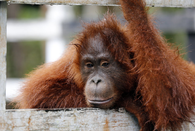 A young male orangutan named Atlas at Camp Leakey in Tanjung Puting National Park, in Kalimantan (Indonesian Borneo), Indonesia, September 4, 2013. Atlas is the son, born and living in the wild, of a female orangutan named Akmad, one of the first captive orangutans anthropologist Dr Birute Galdikas rescued, rehabilitated and returned to the wild. Orangutans are an endangered species and live only in Borneo and Sumatra, where their numbers are in severe decline. (Photo by Barbara Walton/EPA)