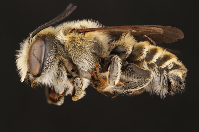 A male parallel leaf-cutter bee. (Photo by Alejandro Santillana/Insects Unlocked/Cover Images)