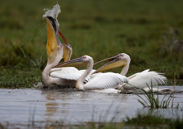 Pelicans catch a fish in a swamp in Amboseli National park, Kenya, August 9, 2015. (Photo by Goran Tomasevic/Reuters)