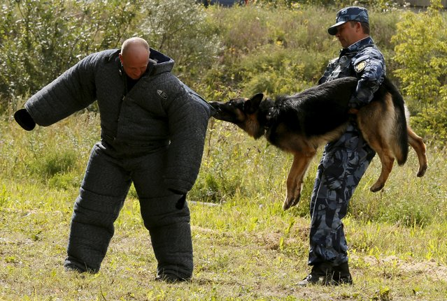 An officer (R) holds a German shepherd dog attacking a trainer during an annual cynologist competition for members of the regional penitentiary camps system outside the Siberian city of Krasnoyarsk, Russia, August 14, 2015. (Photo by Ilya Naymushin/Reuters)