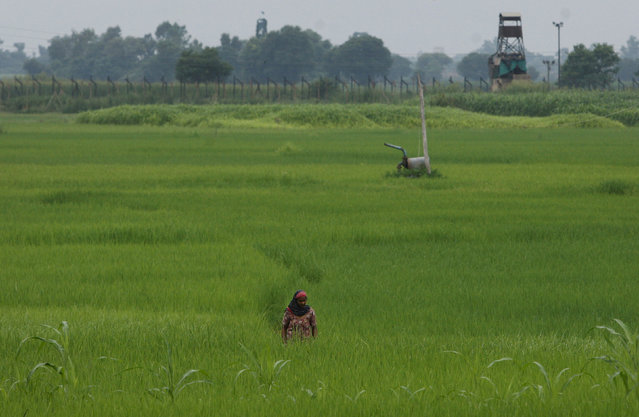 In this Friday August 21, 2015, photo, Indian woman works in a paddy field near border fencing of the India Pakistan international border at Ranbir Singh Pura 36 kilometers (23 miles) from Jammu, India. (Photo by Channi Anand/AP Photo)