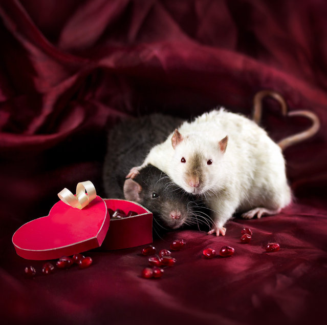 """Diane said: """"Rats usually move quite fast, they are very curious and always eager to explore their surroundings and play"""". (Photo by Diane Ozdamar/Caters News)"""
