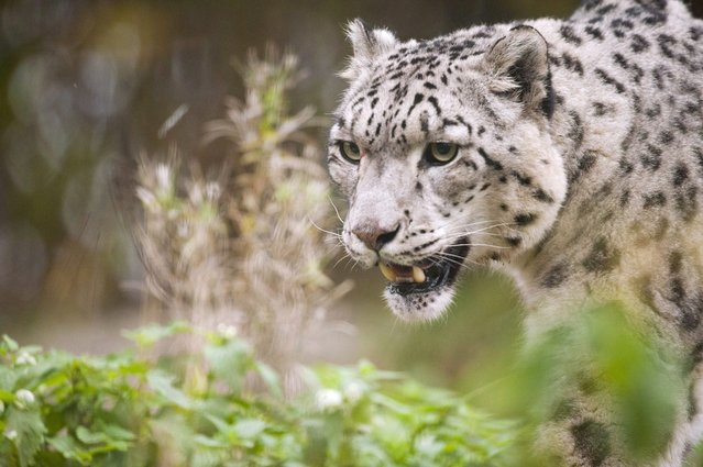 A snow leopard stalks during the World Animal Day on October 4, 2012 at Korkeasaari Zoo in Helsinki, Finland. (Photo by Jarno Mela/AFP)