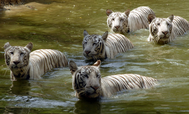 White tigers swim in a pond on a hot day at the zoological park in Hyderabad April 27, 2008. (Photo by Krishnendu Halder/Reuters)