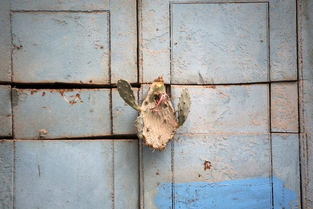 A cactus, believed by Santeria followers to give protection for the house, hangs on the door of a house in downtown Havana, August 28, 2015. (Photo by Alexandre Meneghini/Reuters)