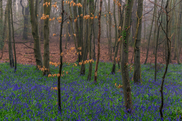 Bluebells grow in a forest, taken in West Sussex, England, June 2017. Spanning across 400 acres in West Sussex are some of the oldest living things in Britain. In the Kingley Vale National Nature Reserve are the ancient, twisted yews dating back 2,000 years. Resembling an enchanted forest the trees' branches have grown into one another over hundreds of years. Other tree species in the park include oak, ash, holly and hawthorn. (Photo by Benjamin Graham/Barcroft Images)