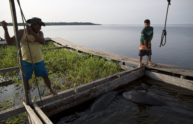 Veterinarian William Guerra Neto (R) and an assistant take measurements of two Amazonian manatees who are being rehabilitated after sustaining injuries from hunting and fishing nets at the Center of Amazonian Manatees at Amana Lake in Maraa, Amazonas state, Brazil, September 21, 2015. (Photo by Bruno Kelly/Reuters)