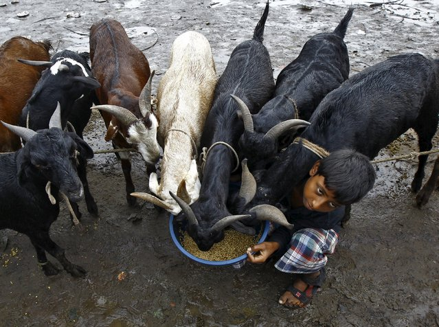 A boy feeds his goats as he waits for customers at a livestock market on the eve of the Eid al-Adha festival in Kolkata, India, September 24, 2015. (Photo by Rupak De Chowdhuri/Reuters)