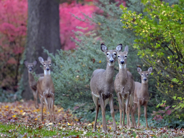 A herd of deer pause to contemplate a photographer in suburban neiborhood in Alexandria VA, November 13, 2014. (Photo by John McDonnell/The Washington Post)