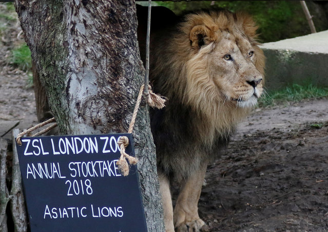 A lion looks on during the Annual Stocktake at ZSL London Zoo in London, Britain February 7, 2018. (Photo by Tom Jacobs/Reuters)