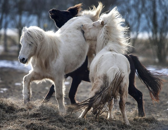 Iceland horses play in their paddock in Obernhain near Frankfurt, Germany, Thursday, on a cold and sunny March 1, 2018. (Photo by Michael Probst/AP Photo)