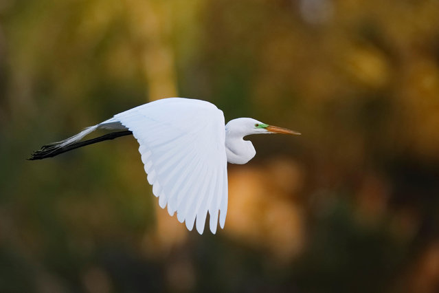Great egret in flight, Venice, Florida, US. (Photo by Brian Lasenby/Alamy Stock Photo)