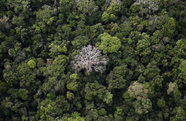 An aerial view shows the Amazon rainforest at the Bom Futuro National Forest near Rio Pardo in Porto Velho, Rondonia State, Brazil, September 3, 2015. The town of Rio Pardo, a settlement of about 4,000 people in the Amazon rainforest, rises where only jungle stood less than a quarter of a century ago. Loggers first cleared the forest followed by ranchers and farmers, then small merchants and prospectors. (Photo by Nacho Doce/Reuters)