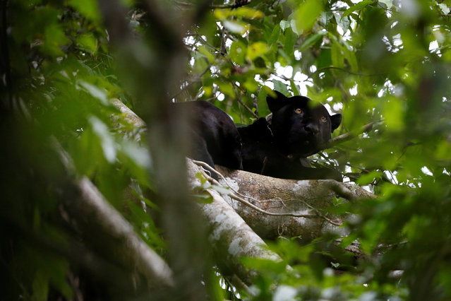 A black male jaguar looks out from atop a tree at the Mamiraua Sustainable Development Reserve in Uarini, Amazonas state, Brazil, June 7, 2017. (Photo by Bruno Kelly/Reuters)