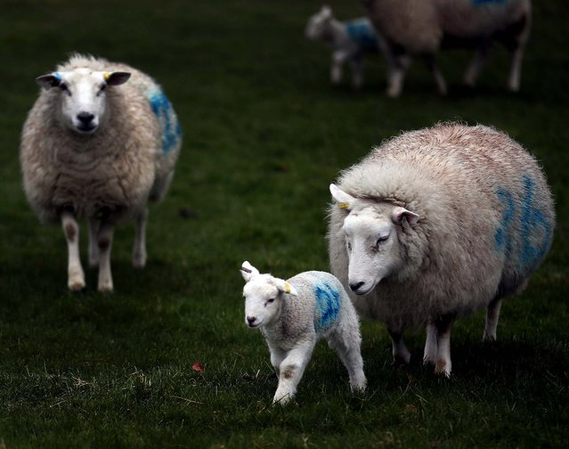 Newborn lambs and their mothers run in a field on a farm in the Wiltshire village of Edington, England. (Photo by Matt Cardy/Getty Images)