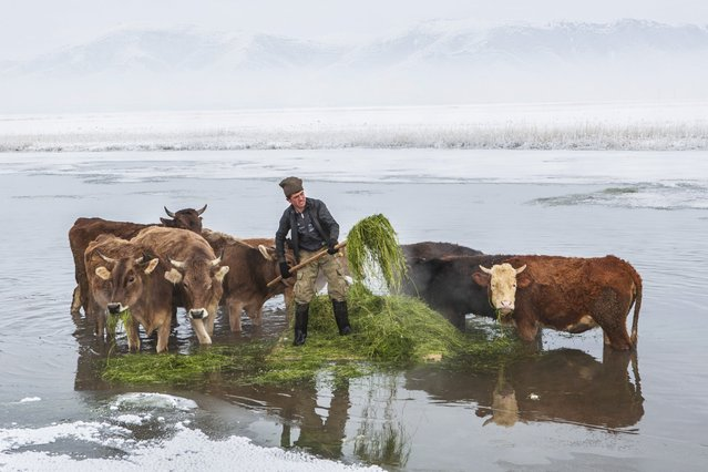 A shepherd takes out grass on a raft over Kaz Lake while the cows eat the grass he took out from the lake in Kalkandelen village of Caldiran district in Turkey's eastern Van province on December 27, 2014. Shepherds sail to 2-meters-deep lake with hand made rafts to supply feed for their livestock under harsh weather conditions as temperature reaches to -30 °C while the cows feed around the lake. (Photo by Ali Ihsan Ozturk/Anadolu Agency/Getty Images)