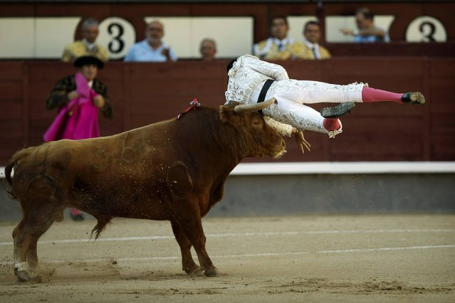 Spanish bullfighter Rafael Cerro is tossed by a Lozano's ranch fighting bull during a bullfight at Las Ventas bullring in Madrid Sunday, June 23, 2013. Bullfighting is an ancient tradition in Spain and the season runs from March to October. (Photo by Daniel Ochoa de Olza/AP Photo)