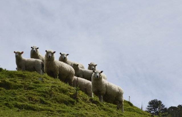 Sheep are pictured on the property of a sheep farmer in New Zealand's Wairarapa region, in this November 14, 2014 file photo. New Zealand is expected to release GDP numbers this week. (Photo by Naomi Tajitsu/Reuters)