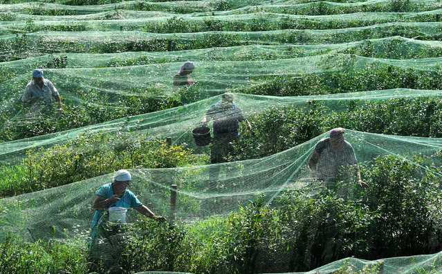 Workers harvest bog blueberry at the Olshany farm near the village of Vysokoye, Brest Region, Belarus on July 12, 2018. (Photo by Viktor Drachev/TASS)