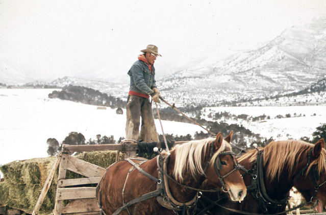 Frank Starbuck, last of the old time ranchers near Fairview, Colorado, manages a spread of 1,300 acres and 400 head of cattle, October 1972. He does it alone because it is too difficult and expensive to get help. Starbuck finds it easier to feed his livestock from a horse drawn wagon or sled than from a truck or tractor. (Photo by David Hiser/NARA via The Atlantic)