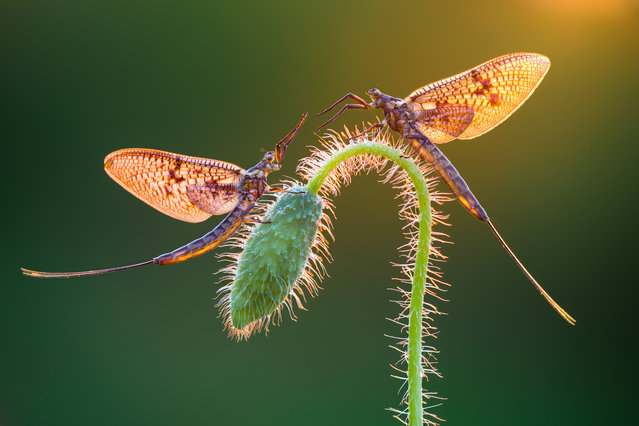 Winner: Mayflies by Petar Sabol, Goričan, Croatia. (Photo by Sabol Petar/International Garden Photographer of the Year)