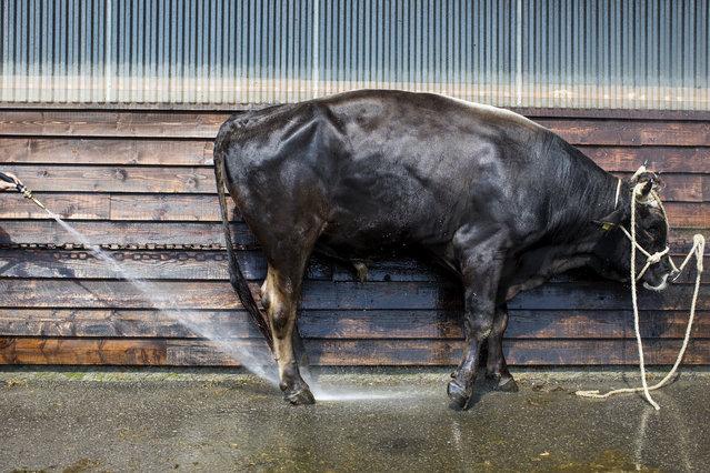 Auffuhr der Stiere am Dienstag, 4. September 2018, auf dem Stierenmarktareal in Zug. Am Auffuhrtag werden die Tiere abgespritzt, Verunreinigungen und Strohstaub werden sauber ausgewaschen. Der Zuger Stierenmarkt findet am 5. und 6. September 2018 in Zug statt. (Photo by Alexandra Wey/Keystone)
