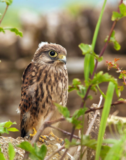 A young Kestrel. (Photo by Adam Tatlow/BNPS)