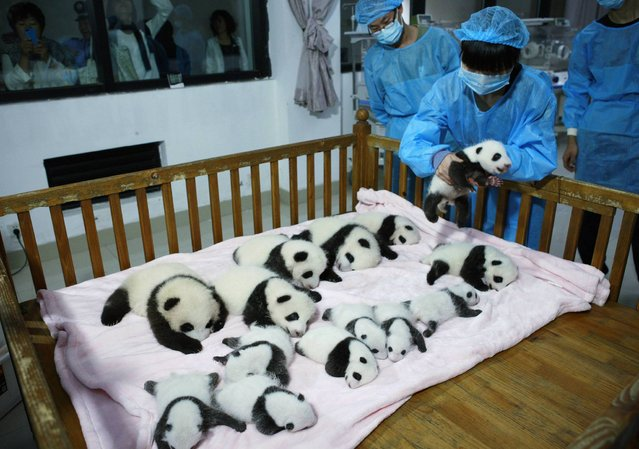 A breeder puts a giant panda cub into a crib at Chengdu Research Base of Giant Panda Breeding in Chengdu, Sichuan province, September 23, 2013. Fourteen new joiners to the 128-giant-panda-family at the base were shown to the public on Monday, according to local media. (Photo by Reuters/China Daily)