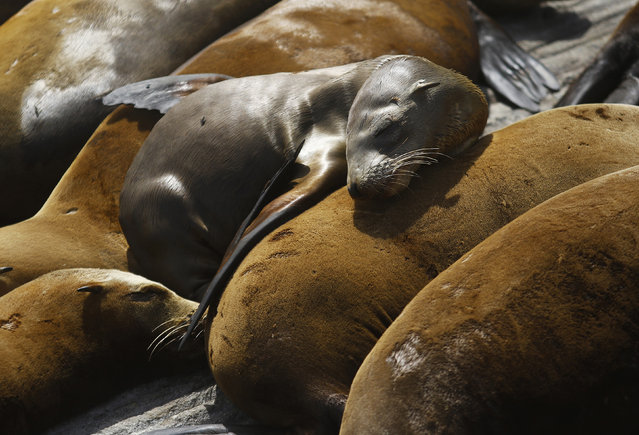 A pup lies with older sea lions at the Coast Guard Pier in Monterey. The precise cause is not clear, but scientists believe the sea lions are suffering from a scarcity of natural prey that forces nursing mothers to venture farther out to sea for food, leaving their young behind for longer periods. (Photo by Michael Fiala/Reuters)