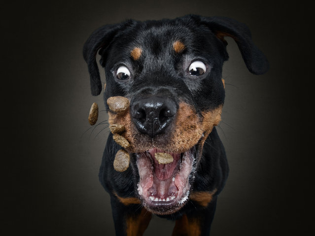 Moos the Rottweiler. (Photo by Christian Vieler/Caters News Agency)